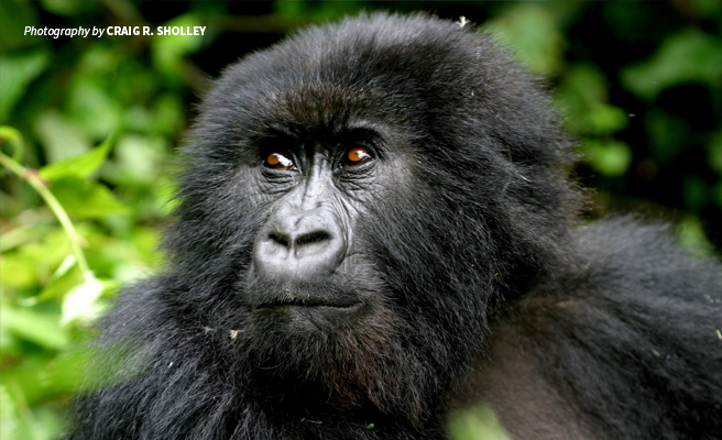 Close-up photo of a mountain gorilla in dense forest habitat in Rwanda