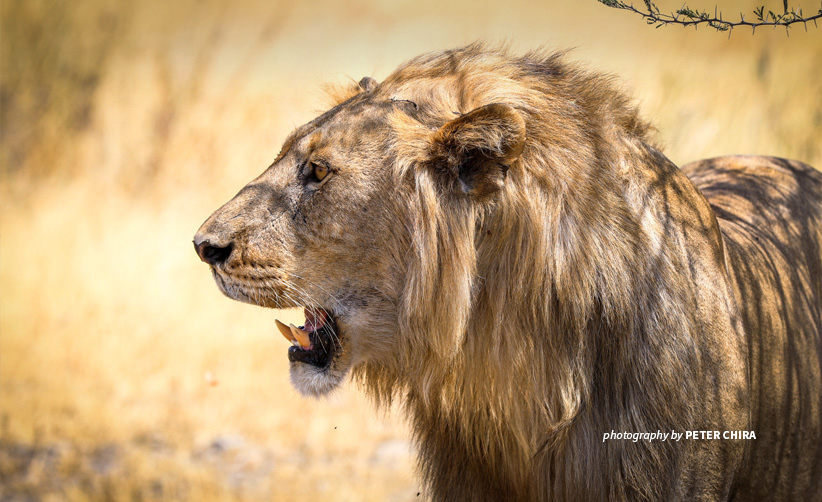 Close-up photo of adult male lion standing in savannah grassland