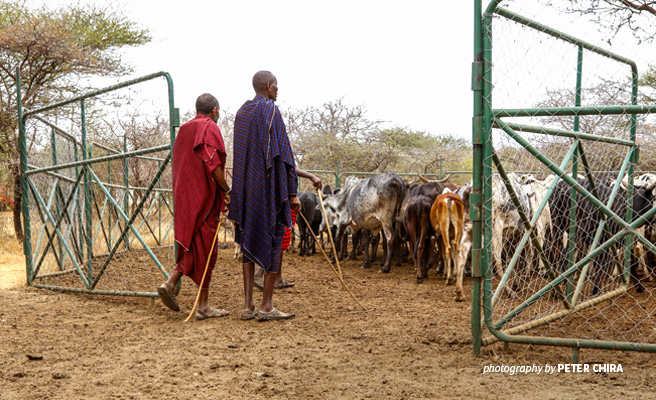 Photo of Maasai herders using portable metal livestock enclosure provided by AWF