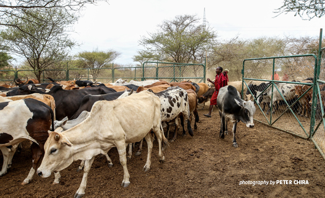 Photo of cattle in mobile livestock enclosures provided to herders in Manyara Ranch conservancy