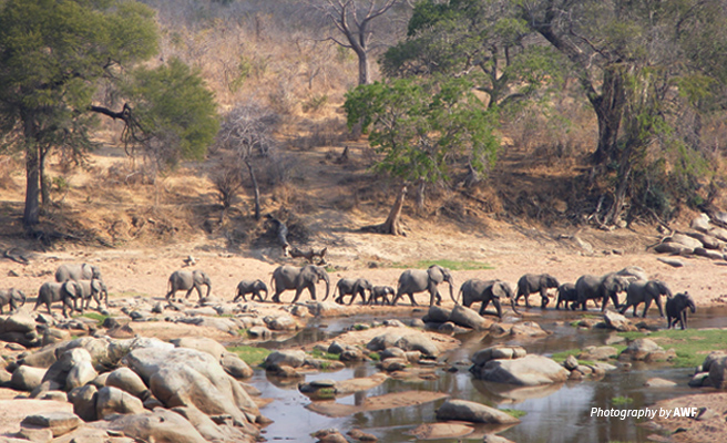 Photo of a herd of African elephants crossing dry riverbed in Ruaha National Park