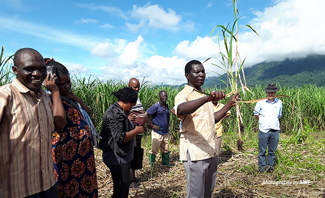 Photo of sugarcane farmers in plantation harvesting drought-resistant sugarcane crop