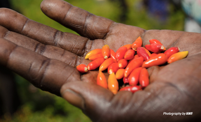 Close-up photo of chili peppers grown by rural farmers in Uganda to repel elephants