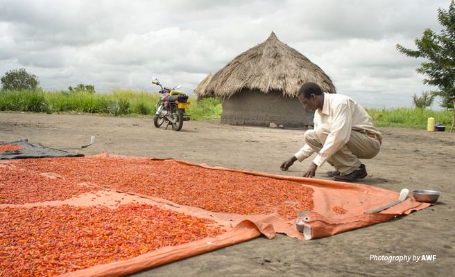 Photo of a farmer in Uganda surveying drying chilis after harvest
