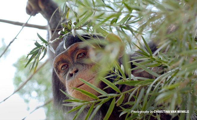 Close-up of lone chimpanzee in foliage