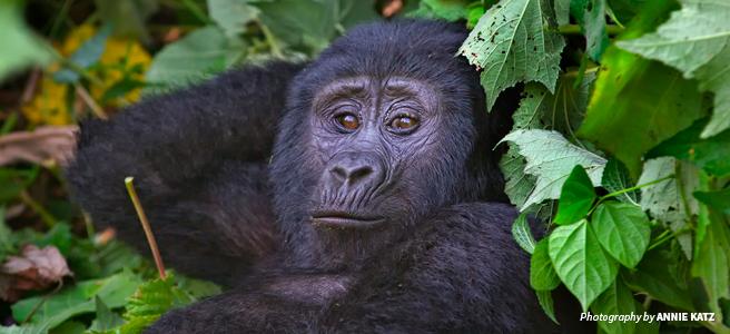 Close-up photo of mountain gorilla in Bwindi Impenetrable National Park, Uganda
