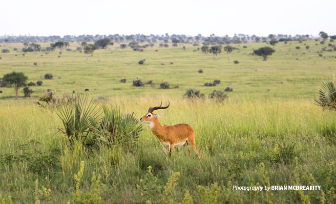Photo of a lone Ugandan kob grazing in savanna grassland in Murchison Falls National Park near community-owned conservancy