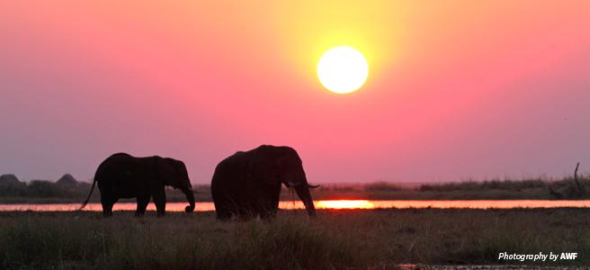 Photo of two elephants at sunset on Zambezi River in Zambia