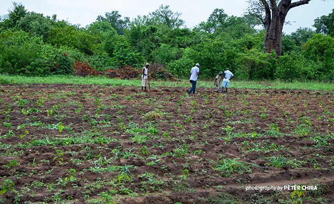 Photo of AWF-supported farmers in northern Zimbabwe weeding their chili plantation