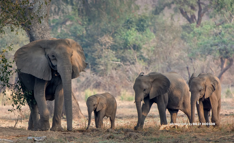 Photo of four elephants in wooded area in Lower Zambezi savannah landscape