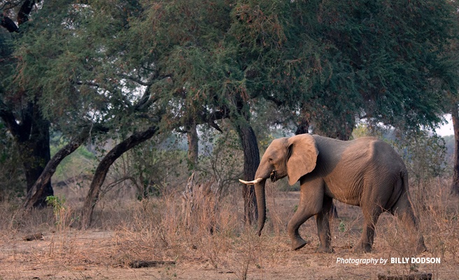 Photo of adult elephant in dusty savannah grassland in Zimbabwe