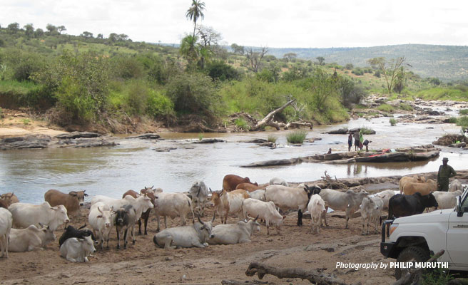 Pastoralist cattle grazing and people washing clothes at river in Samburu