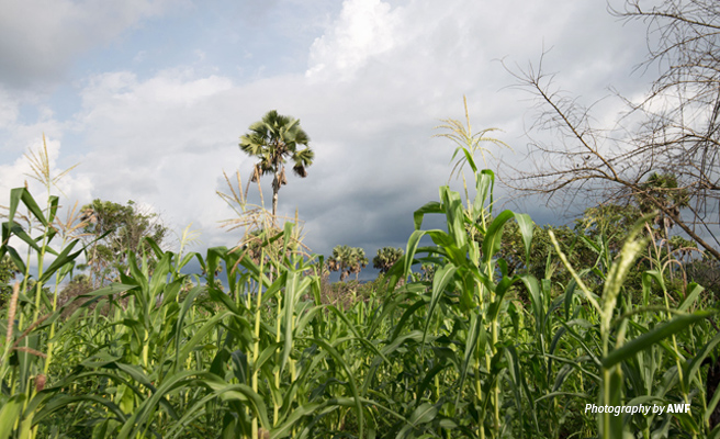 Photo of maize field with palm trees in the background