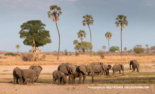 Photo of large herd of elephants in savanna grassland in southern Tanzania