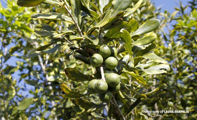 Close-up photo of macadamia nuts farmed at Rungwe Avocado Company