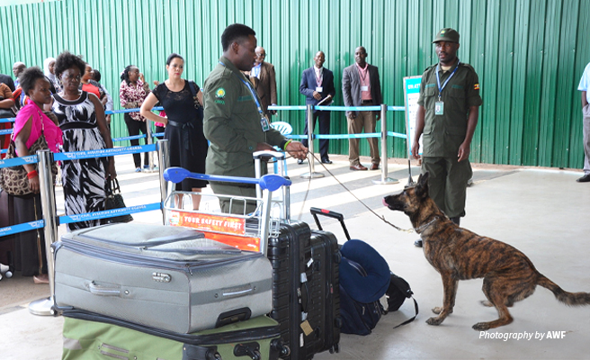Photo of AWF-trained canine detection unit searching luggage at Entebbe International Airport