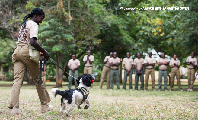 Photo of AWF-trained wildlife sniffer dog unit demonstrating wildlife detection at AWF training facility
