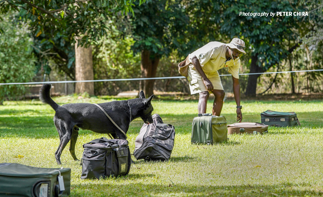Photo of AWF-trained conservation sniffer dogs demonstrating ivory detection routine
