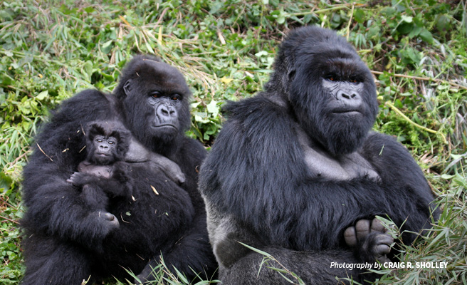 Photo of mountain gorilla family in Volcanoes National Park forest