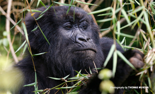 Close-up photo of mountain gorilla spotted during trek in forest