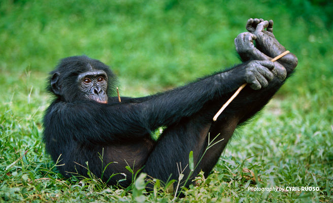 Photo of young bonobo playing in grass in DRC