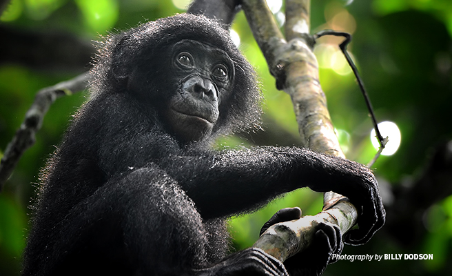 Photo of young bonobo sitting on a tree branch in DRC forest