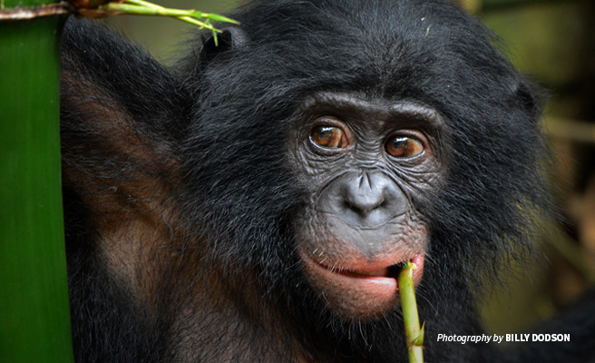 Close-up photo of young bonobo on bamboo shoot