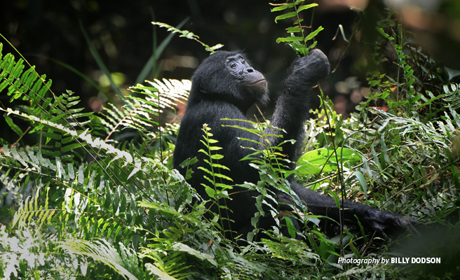 Photo of young lone bonobo in foliage