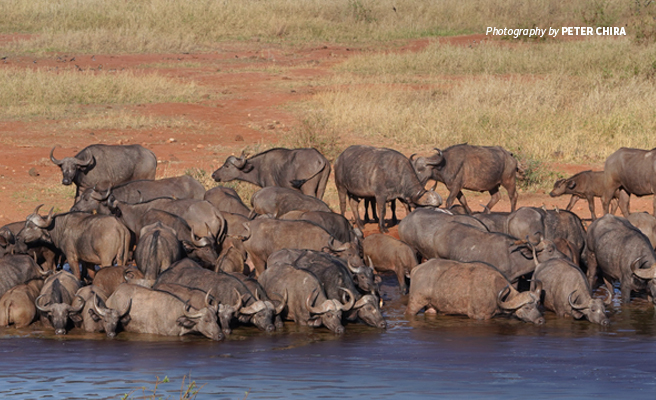 Photo of large herd of buffalo at water hole in Tsavo conservation area in Kenya
