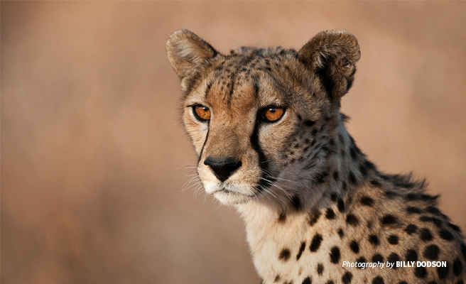 Close-up photo of young male cheetah at sunset