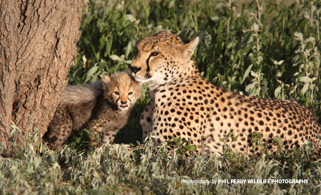 Close-up photo of cheetah cub with adult sitting in savannah grassland