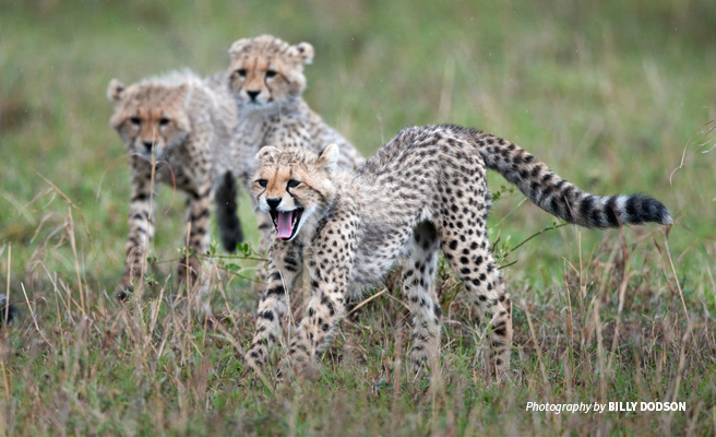 Photo of three juvenile cheetahs in African savannah grassland