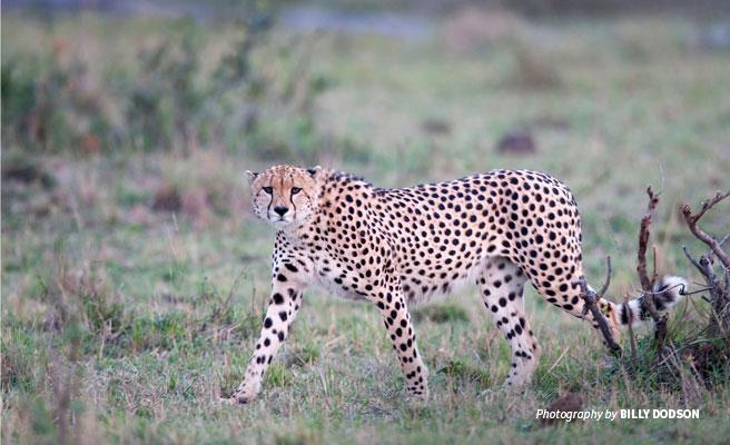 Full portrait of cheetah on the prowl