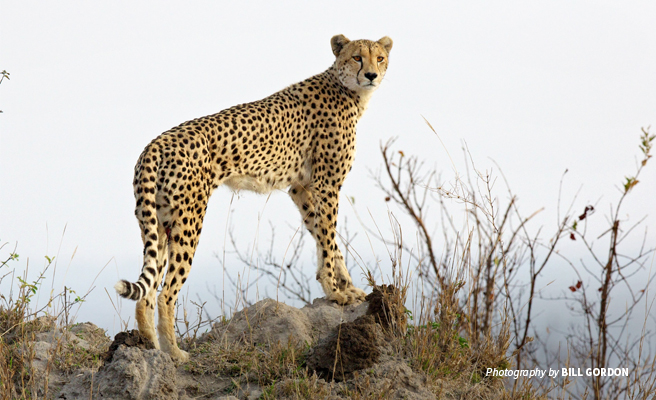 Photo of lone adult cheetah standing in savanna grassland