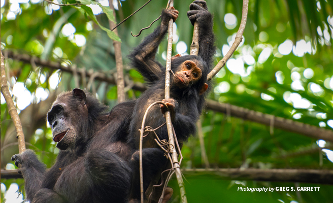 Photo of baby chimpanzee with adult sitting on a branch in African tropical forest