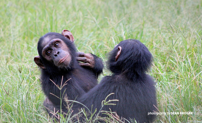 Photo of young chimpanzees at Sanaga-Yong Chimpanzee Rescue in eastern Cameroon
