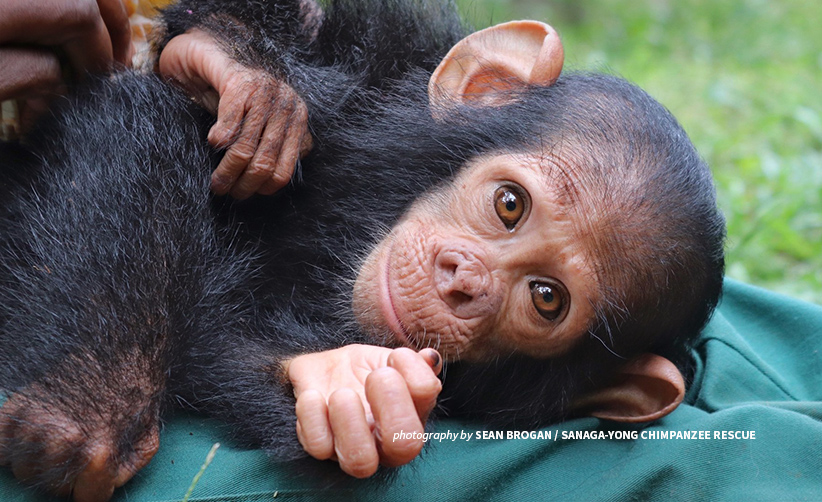 Close-up photo of kidnapped chimpanzee after rescue from village in Dja, Cameroon