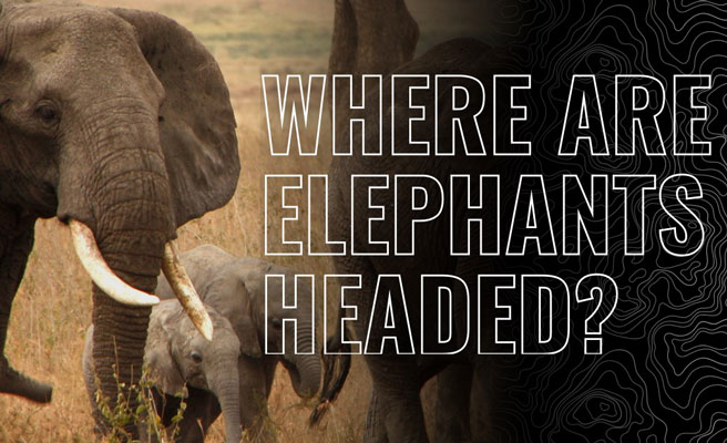 Herd of elephants graphic asking where the species is headed