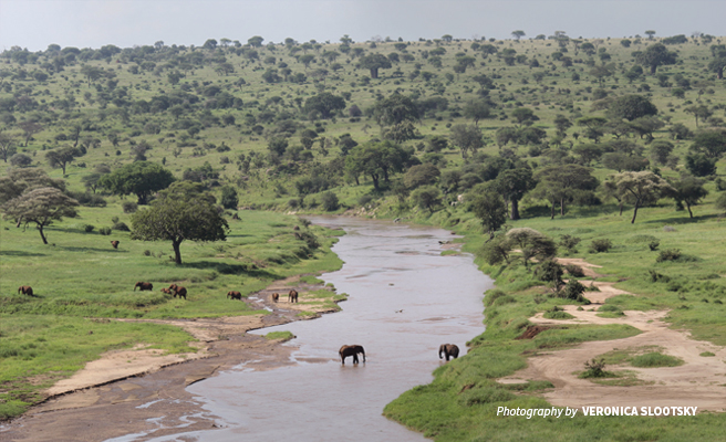 Photo of a herd of African elephants grazing along river bed in Tanzania