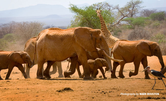 Herd of African elephants, giraffe and marabou stork walking in dry Tsavo landscape