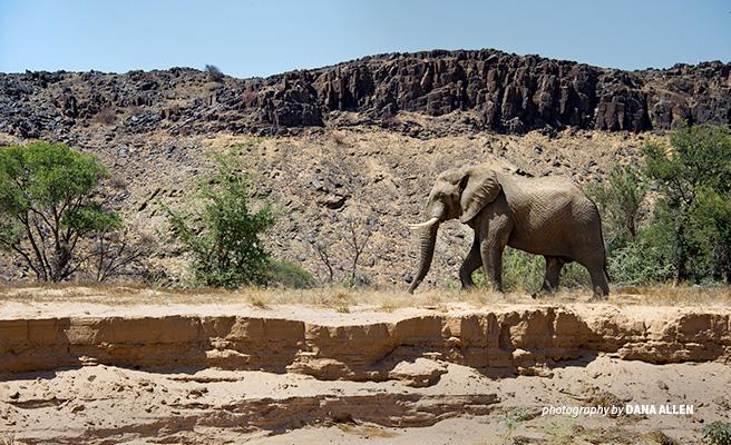 Photo of lone desert elephant walking across rugged landscape in northwest Namibia