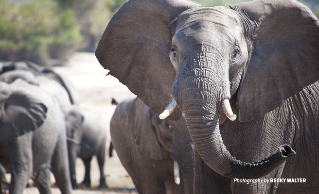 Close-up photo of adult elephant amongst herd of elephants in Botswana