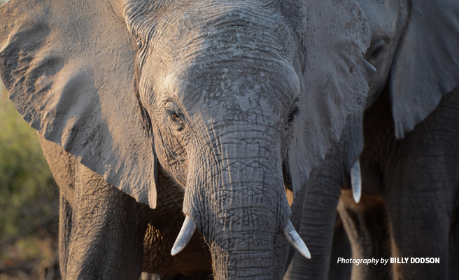 Close-up photo of young elephant in Chobe National Park, Botswana