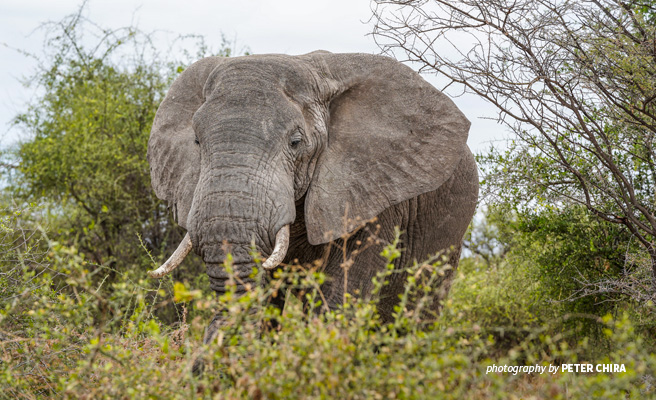 Close-up photo of lone adult elephant browsing in thick savanna grassland in Manyara Ranch