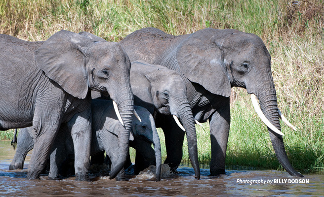 Photo of a small herd of elephants drinking water