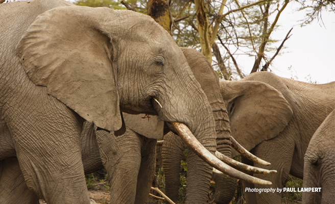 Close-up photo of African elephant amongst herd