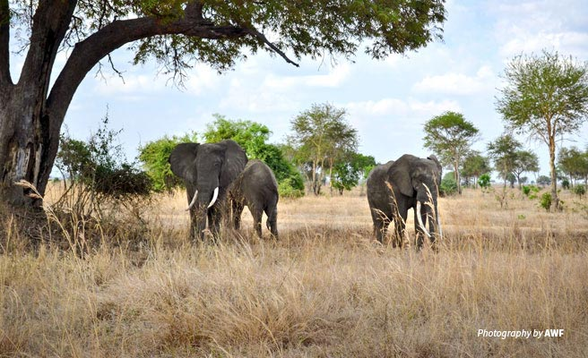Photo of three elephants grazing in Kilombero
