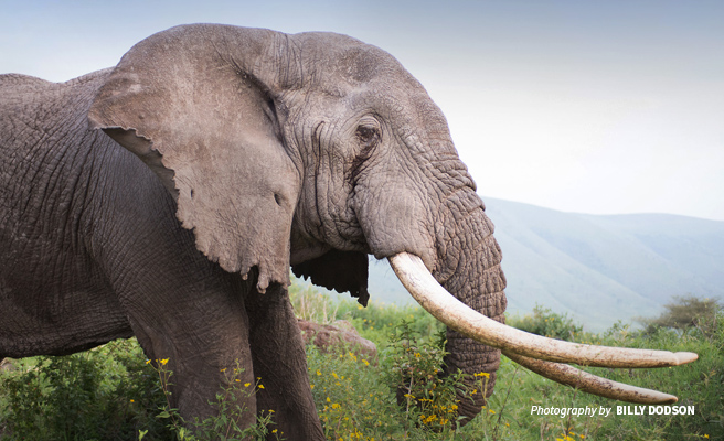 1136bd4d4 Closing legal markets for illicit ivory will save Africa s elephants ...