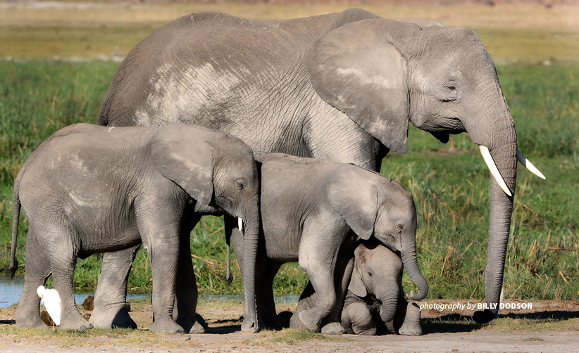 Photo of adult African elephant with three young African elephants in Botswana