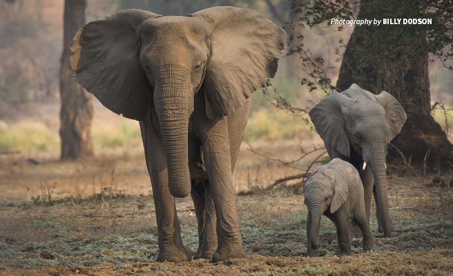 Photo of adult African elephant without tusks with two baby elephants